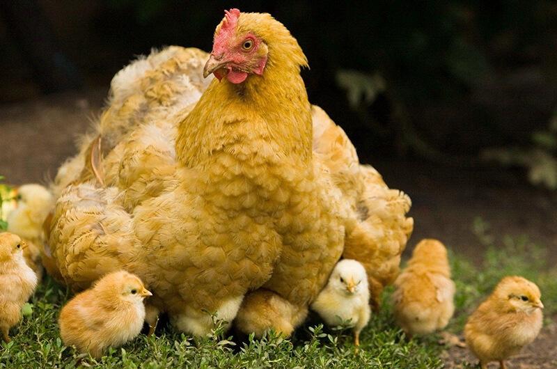 Tavuk, Hindi, Kaz, Ördek Çiftliği Kredi ve Hibeleri